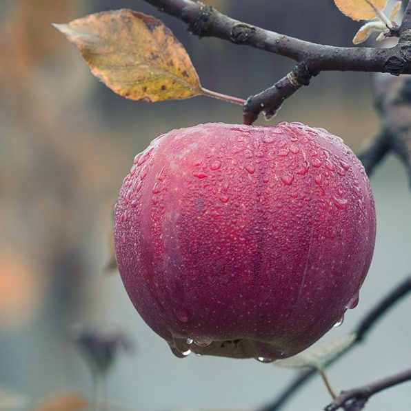 A dew covered apple on the branch of an apple tree